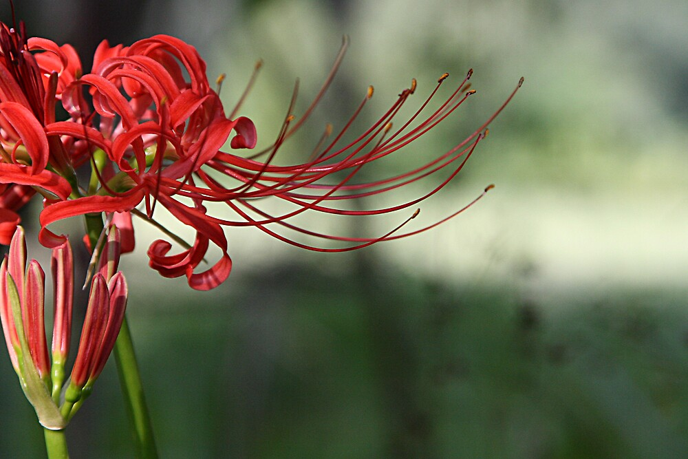 Red Spider Lily by Patricia Montgomery