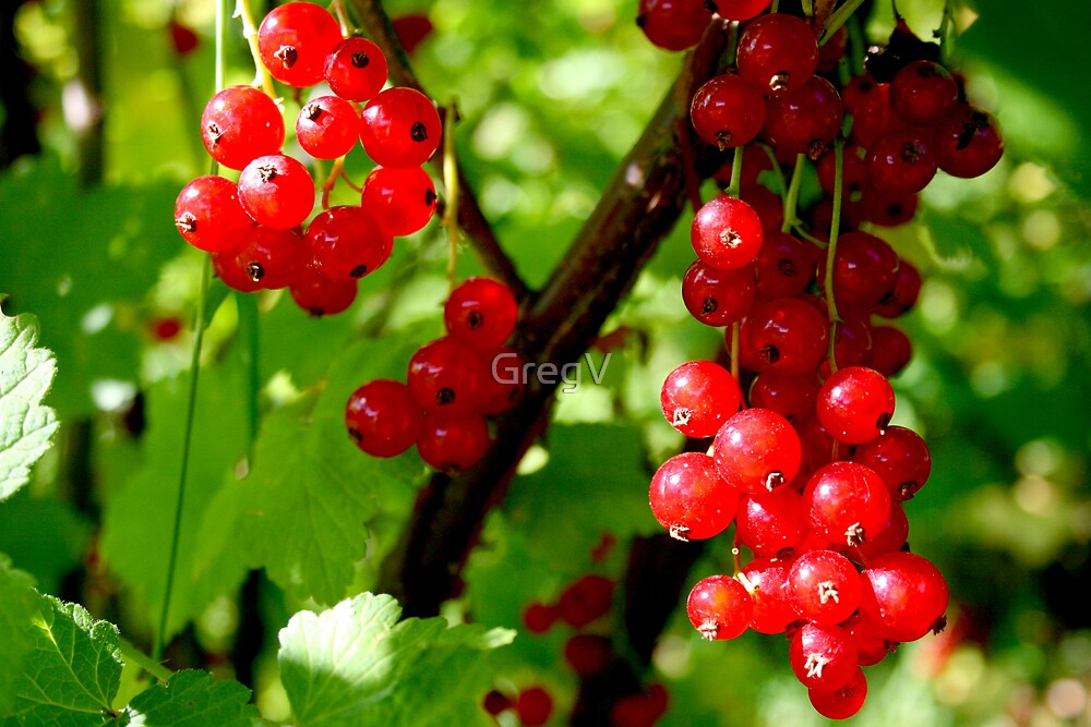 Red currants by GregV