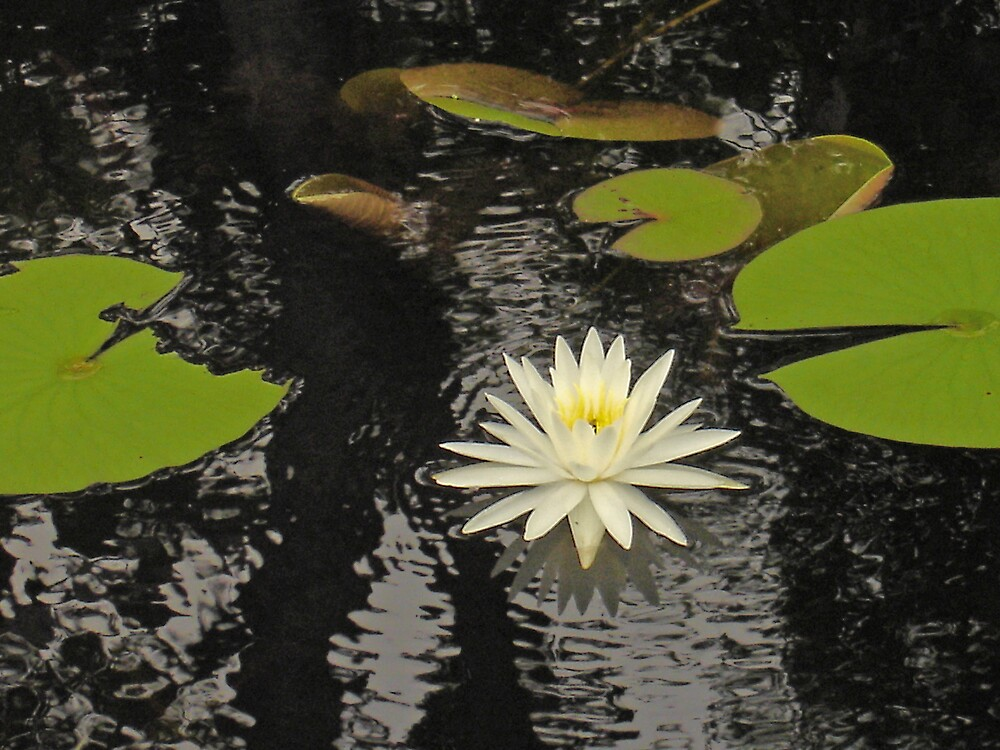 Lilly Reflected by Keith Green