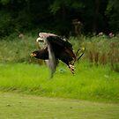 Batteleur in flight by Justin020