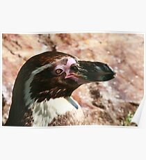 Black-footed Penguin  Poster