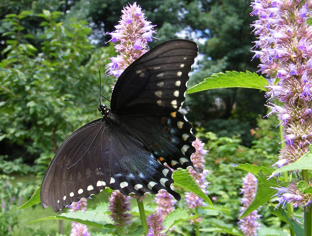 Black Swallowtail by Andy2302
