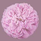 Camellia  by Victoria Avvacumova