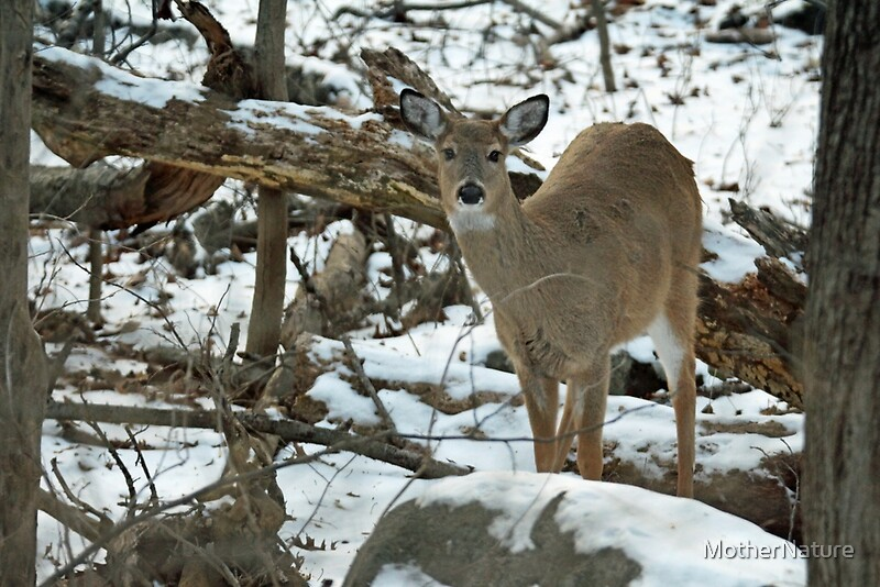 Quot Whitetail Deer Doe In Snow Quot By Mothernature Redbubble