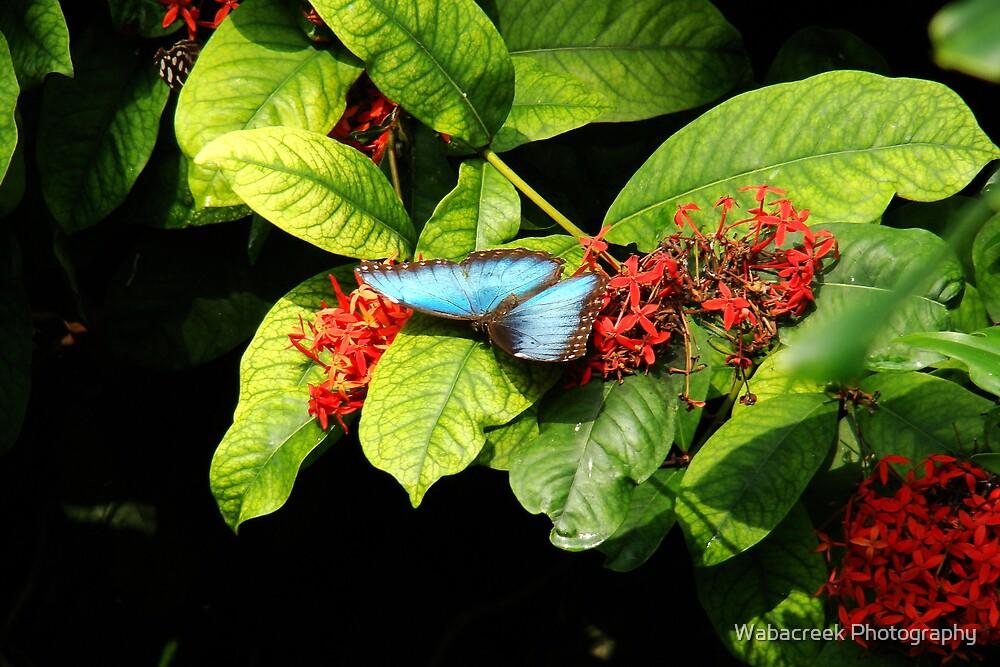 Blue butterfly 2 by Jocelyne Phillips