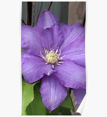 Purple Clamatis Bloom Poster