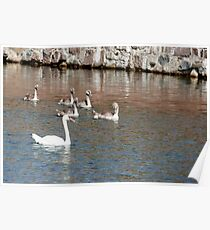 A family of white swans swimming in a pond Poster
