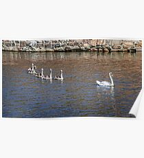 White swan ducklings follow parent in a pond Poster