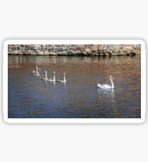 White swan ducklings follow parent in a pond Sticker