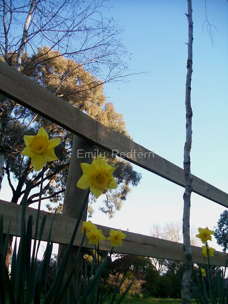 Daffodil Against The Fence. by Emily  Redfern