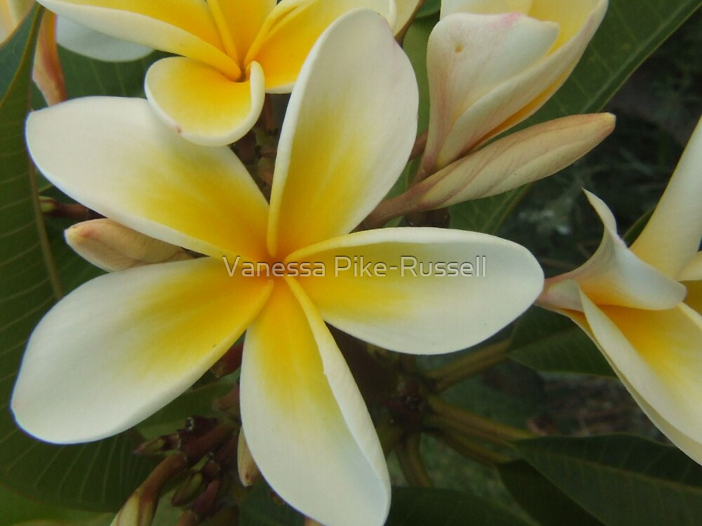 Frangipani flowers by Vanessa Pike-Russell