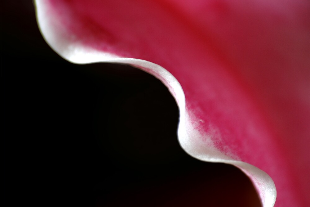 Stargazer Lily Abstract by Charlie  Durán