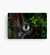 Black-throated Sparrow The Bandit Canvas Print