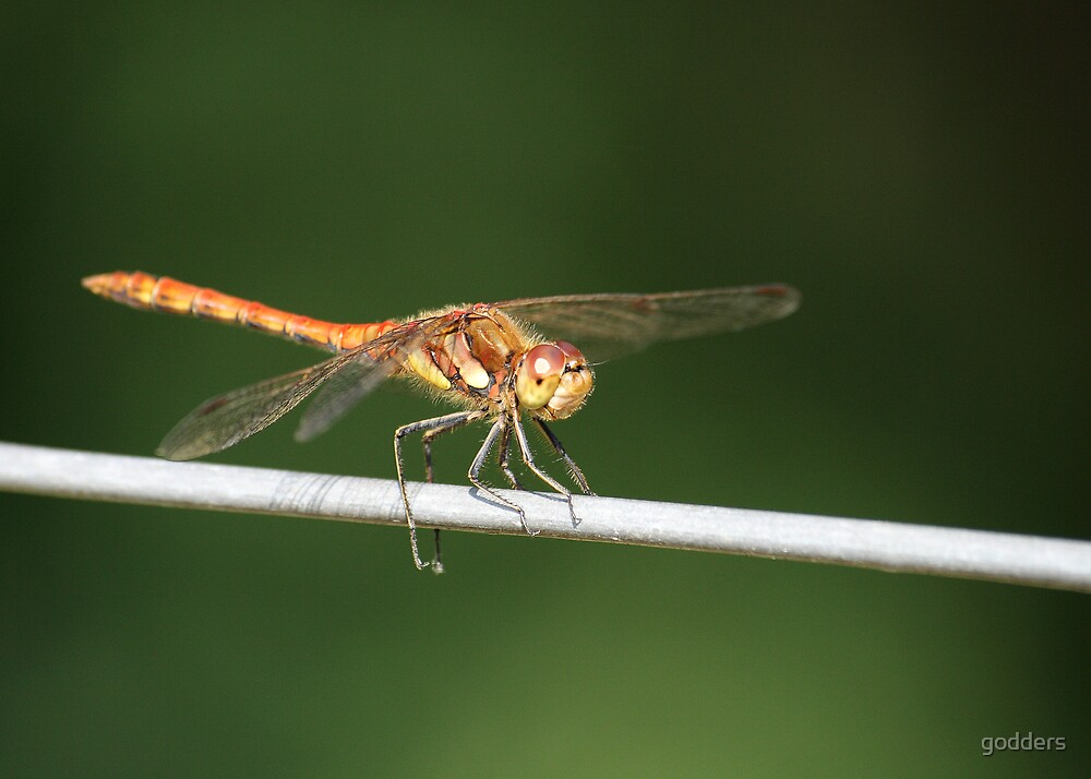 Brown Hawker by godders