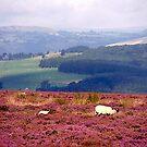 Heather fields by moonstone