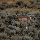 Where the Antelope Play by Laddie Halupa