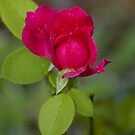 Red Rose Bud by Paul Gitto