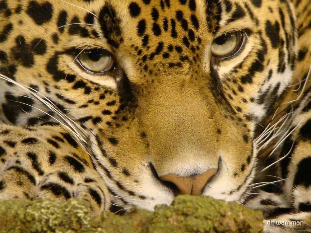 Jaguar Gaze by dmwarnman