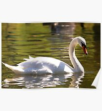 Mute Swan In Golden Waters Poster