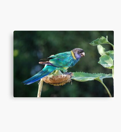 Are you watching me? - Port Lincoln Parrot Canvas Print