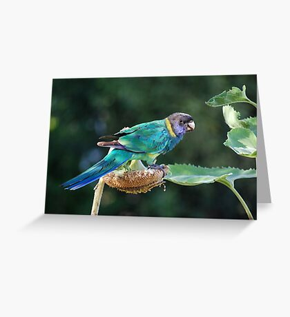 Are you watching me? - Port Lincoln Parrot Greeting Card