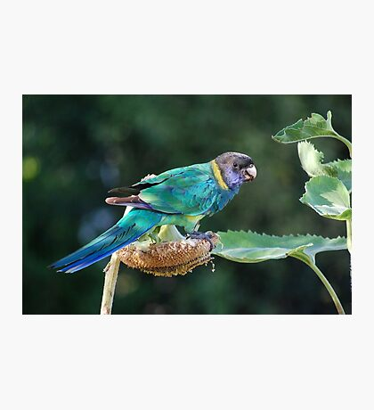 Are you watching me? - Port Lincoln Parrot Photographic Print