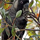 White tailed black cockatoo by Coralie Plozza