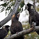 White tailed black cockatoo meeting by Coralie Plozza