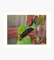 Dutchman's Pipe Vine Caterpillar Art Print