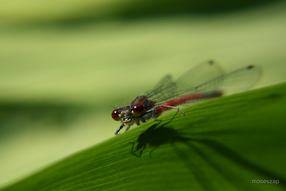 damselfly by moseszap