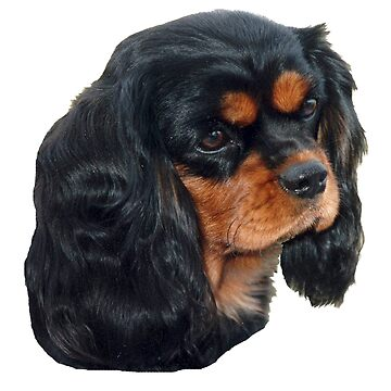 Black & Tan Cavalier King Charles Spaniel by JennyB
