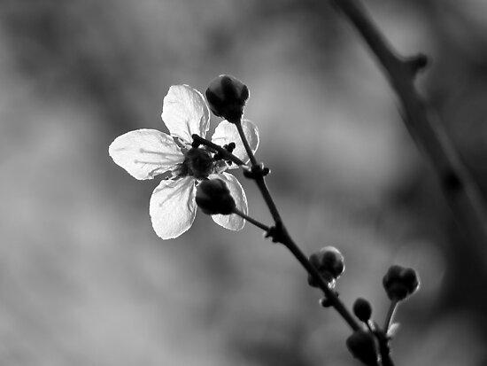 Blossom in Black & White by Kitsmumma