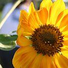 Sunflower by MMerritt