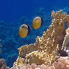Red Sea Exquisite Butterflyfish 2 by hurmerinta