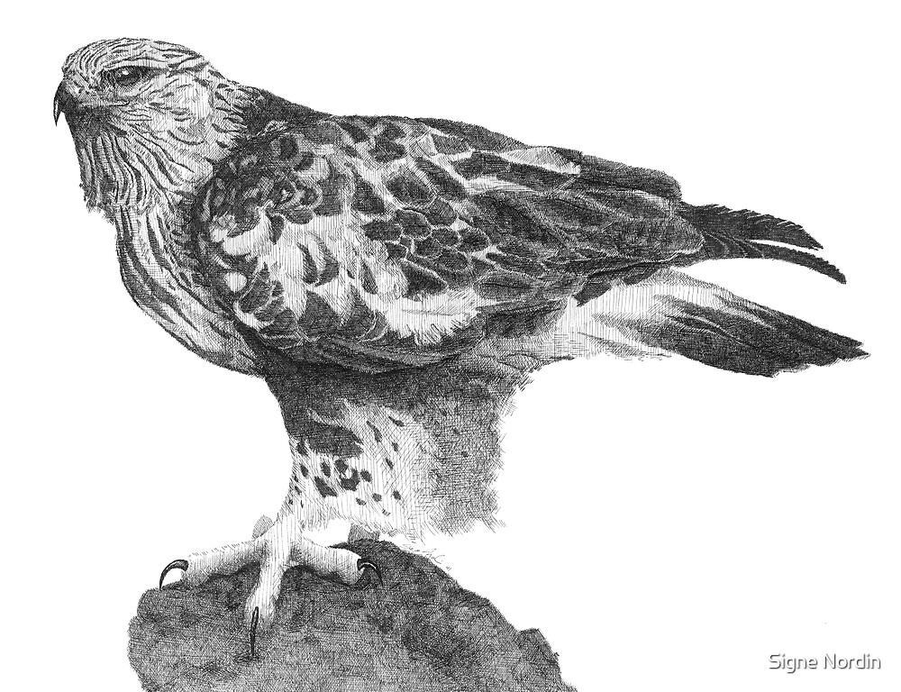 Rough-legged Hawk by Signe Nordin