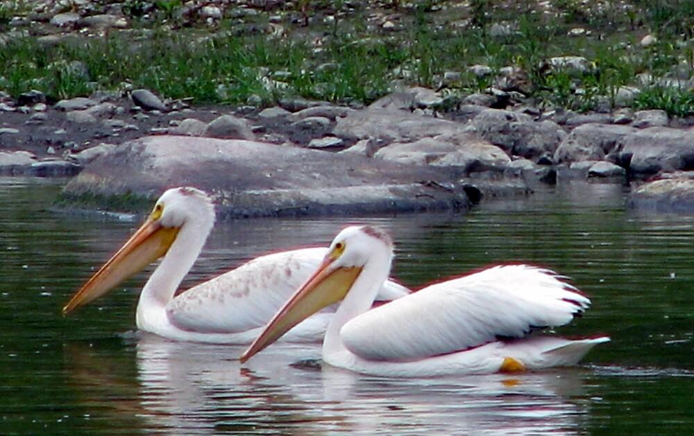 Pelicans by Robert Jenner