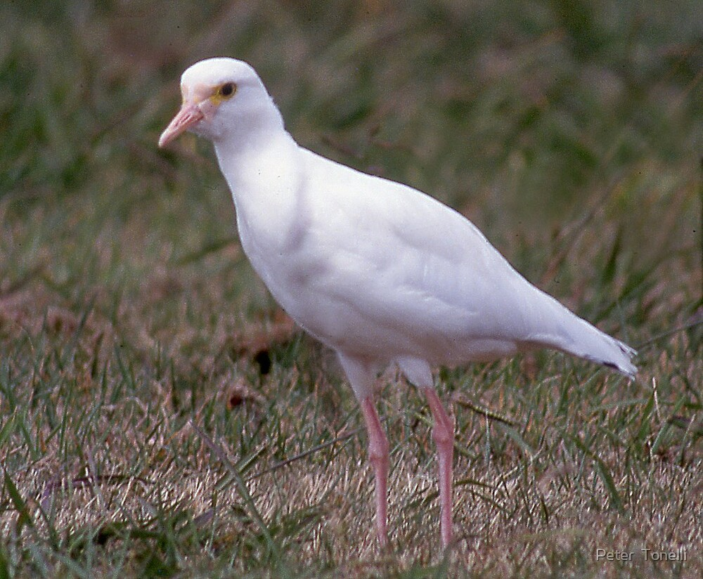 Albino Masked Lapwing by Peter  Tonelli