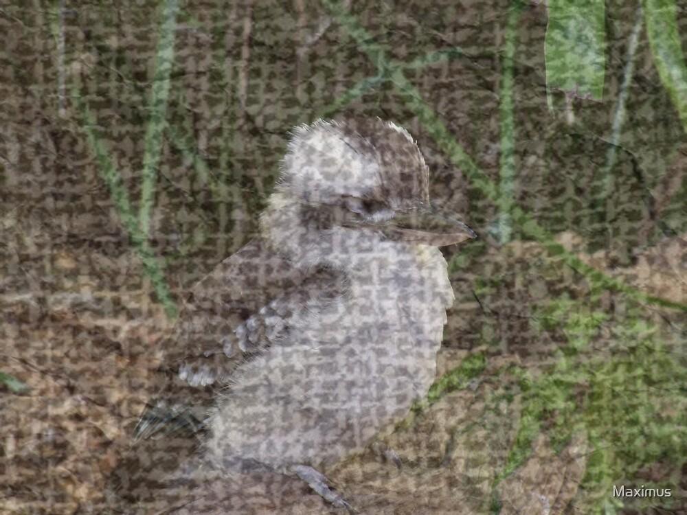 Aged Kookaburra by Maximus