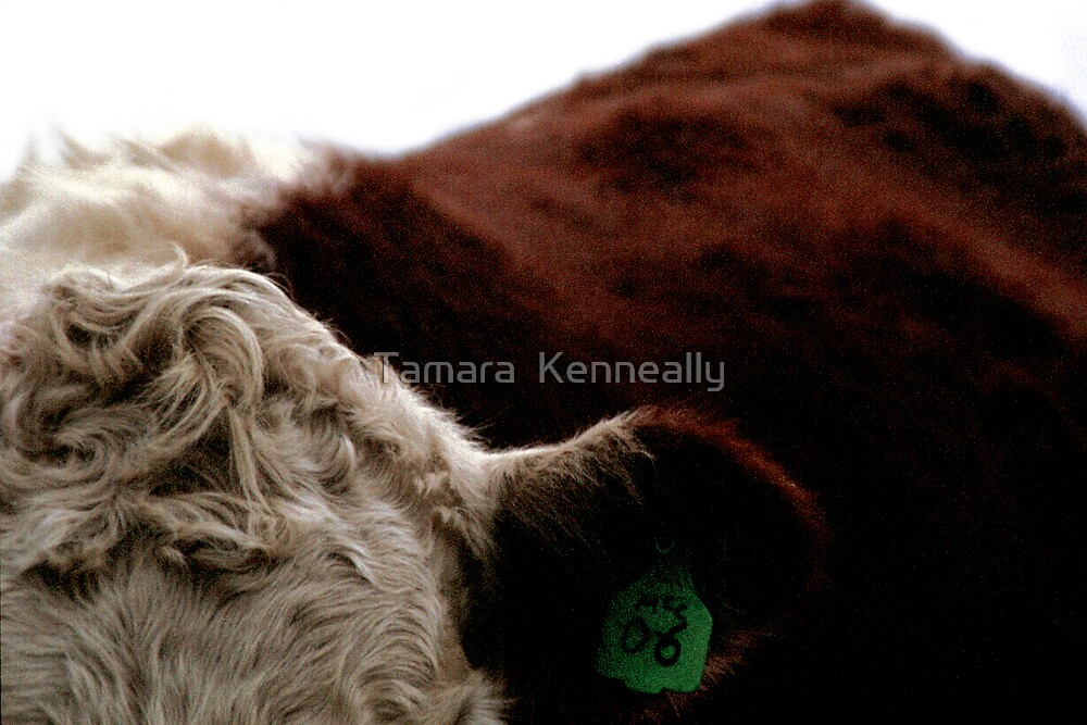 Cow I by Tamara  Kenneally