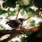 Australian Raven Baby by Daniel Watts