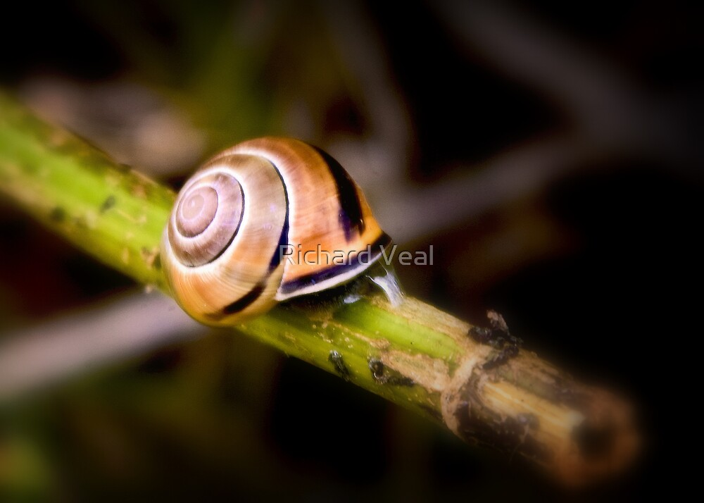 Snail by kcphotography