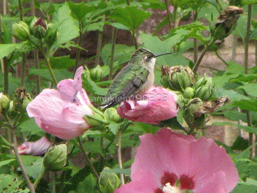 A Hummingbird Rests by amyklein196203