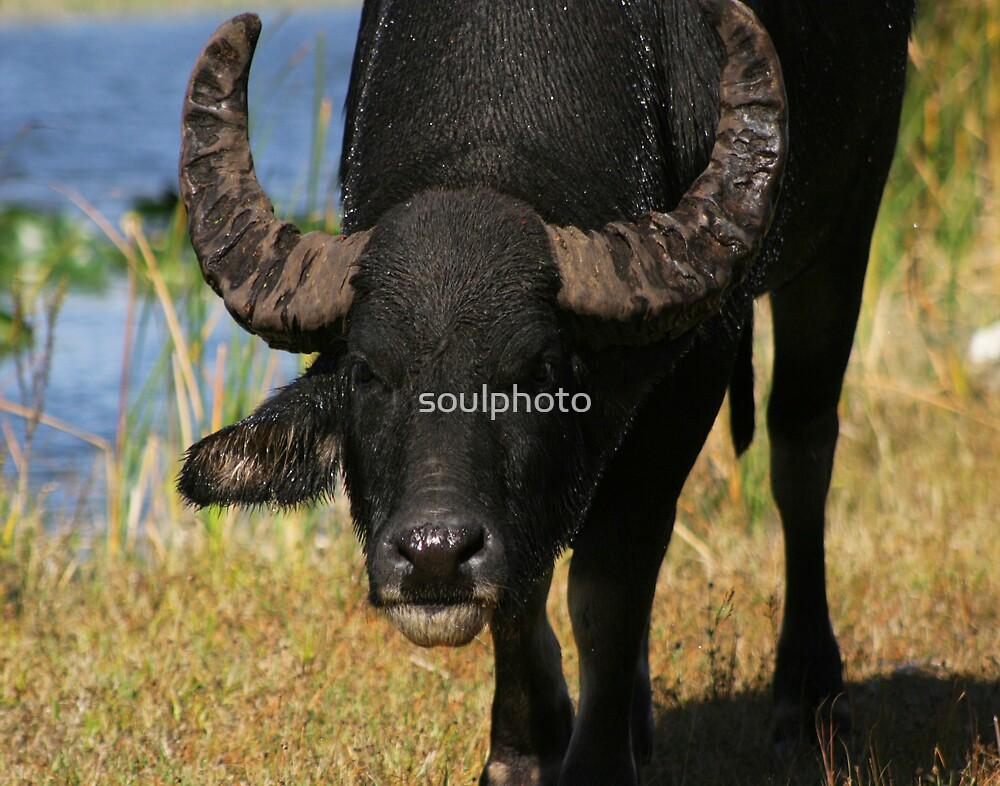 Water Buffalo by soulphoto