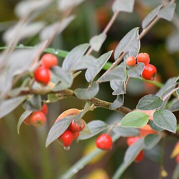 Autumn Berries by Winkham