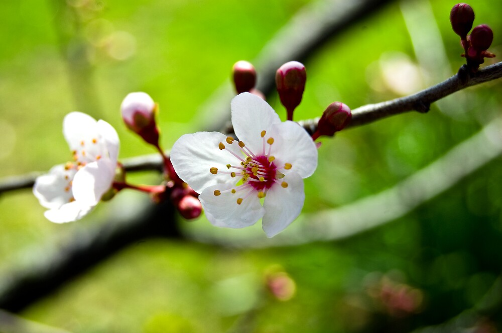 Spring Blossoms by Lyn  Walkerden