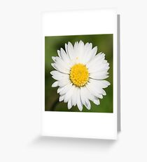 Closeup Of A Beautiful Yellow And Wild White Daisy Flower Greeting Card