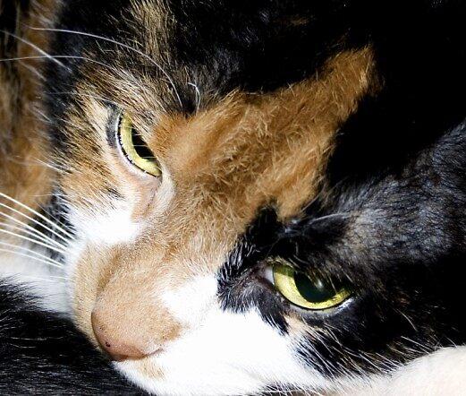 Tricolour Cat by blacknine