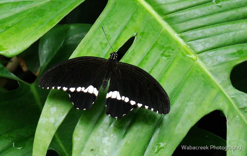 Black & White Butterfly by Jocelyne Phillips