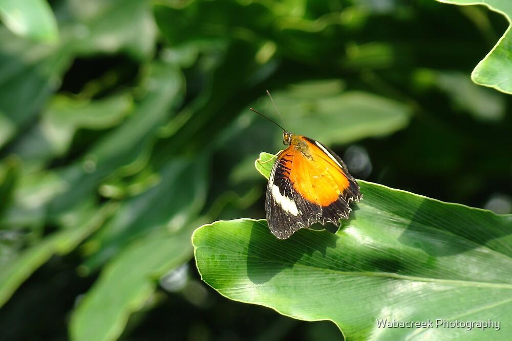 Butterfly 17 by Jocelyne Phillips