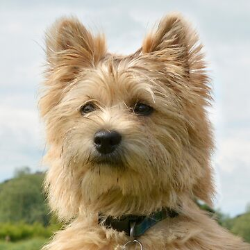 Cairn Terrier by ljm000